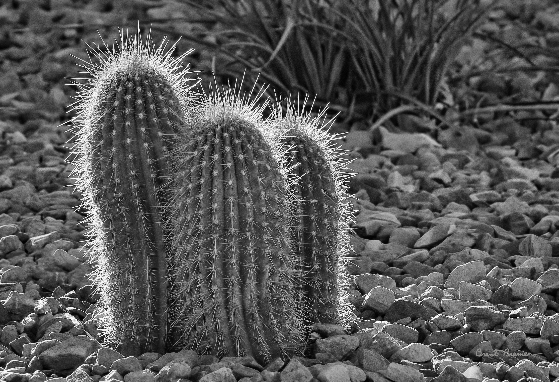 Cactus Trio - Brent Bremer