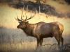 Early Morning Elk Art Art