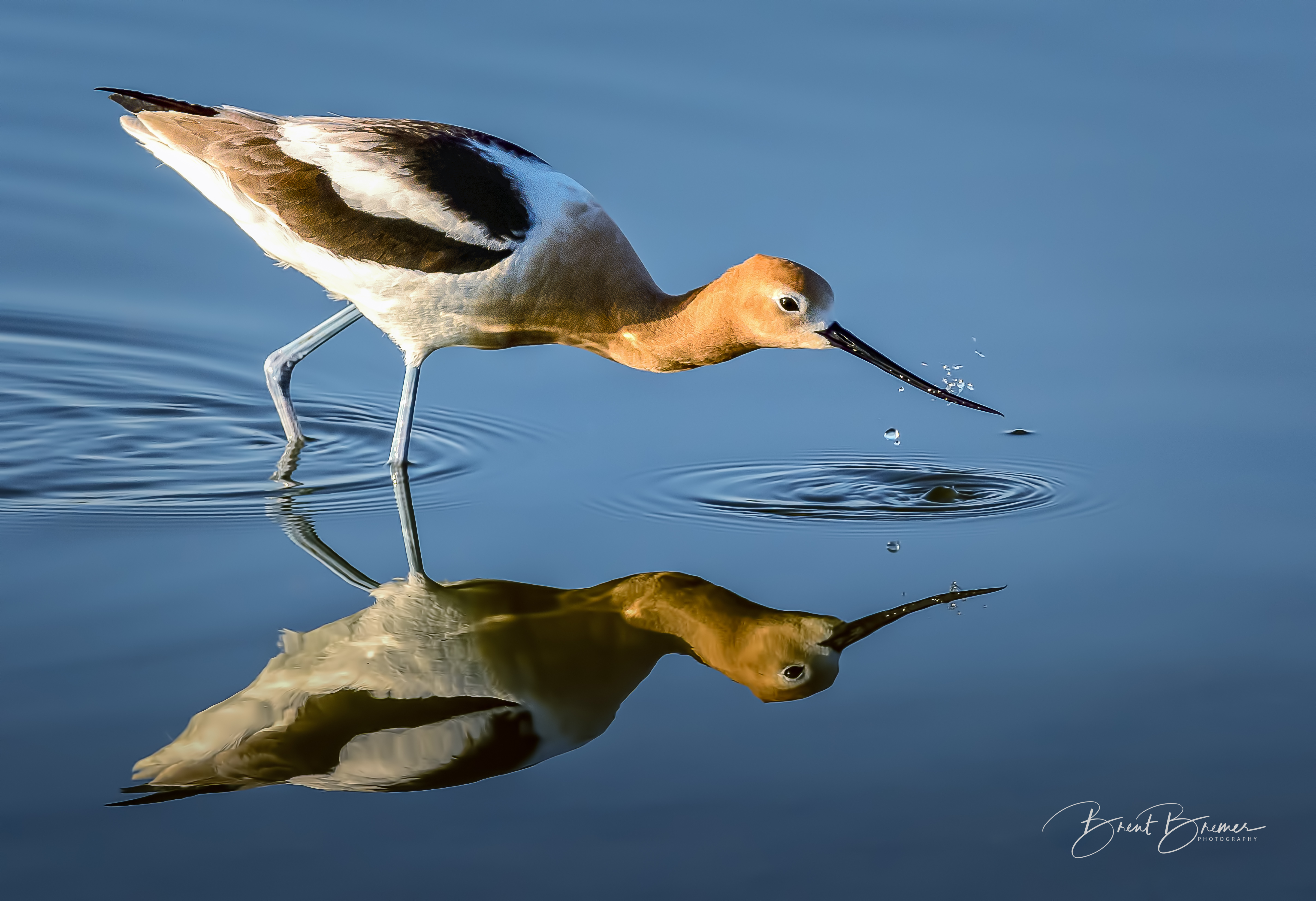 Avocet Playing