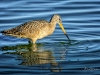 Marbled Godwit Beak in Water