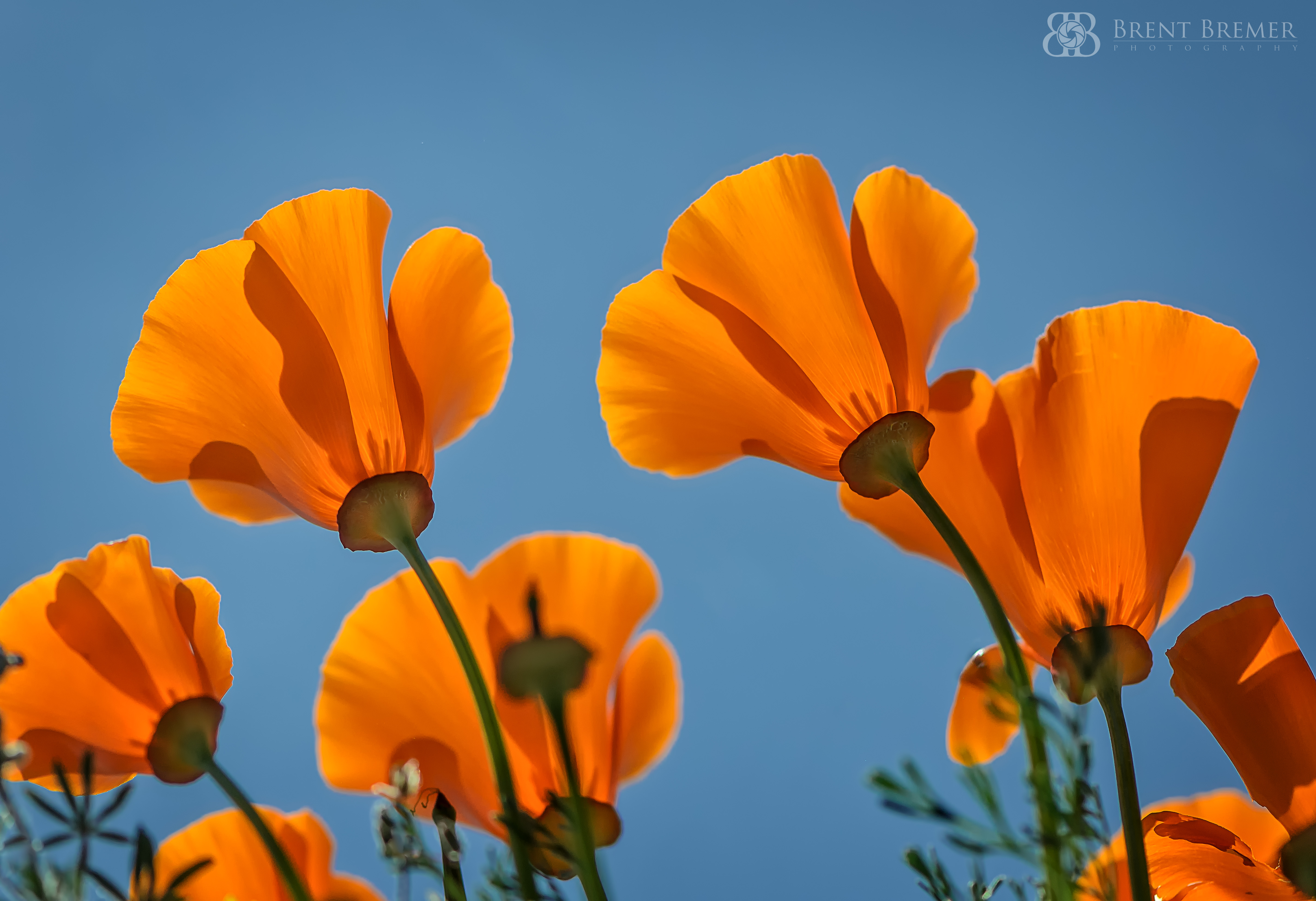 From Beneath the Poppies