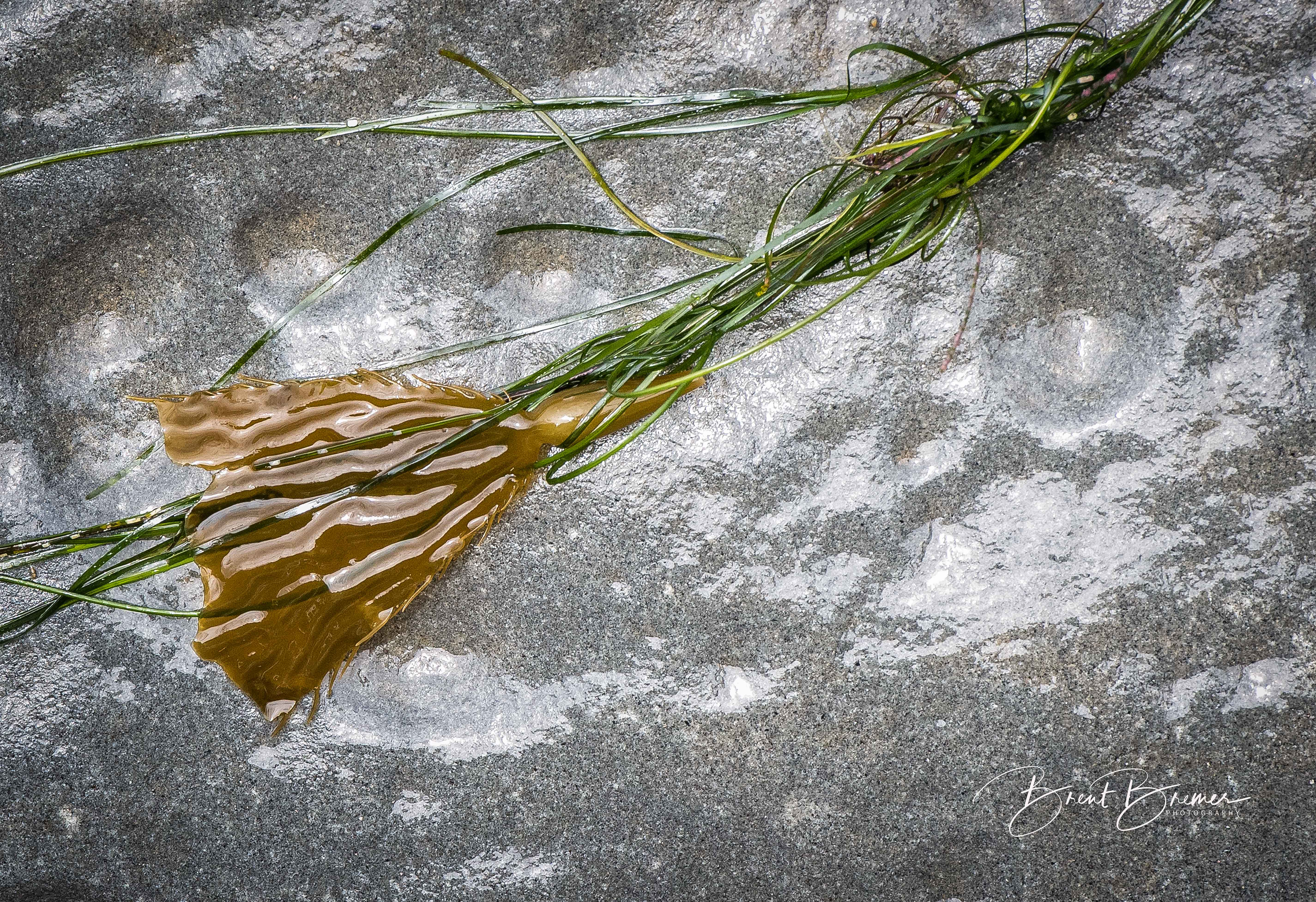 Seaweed Dsplayed on Rock