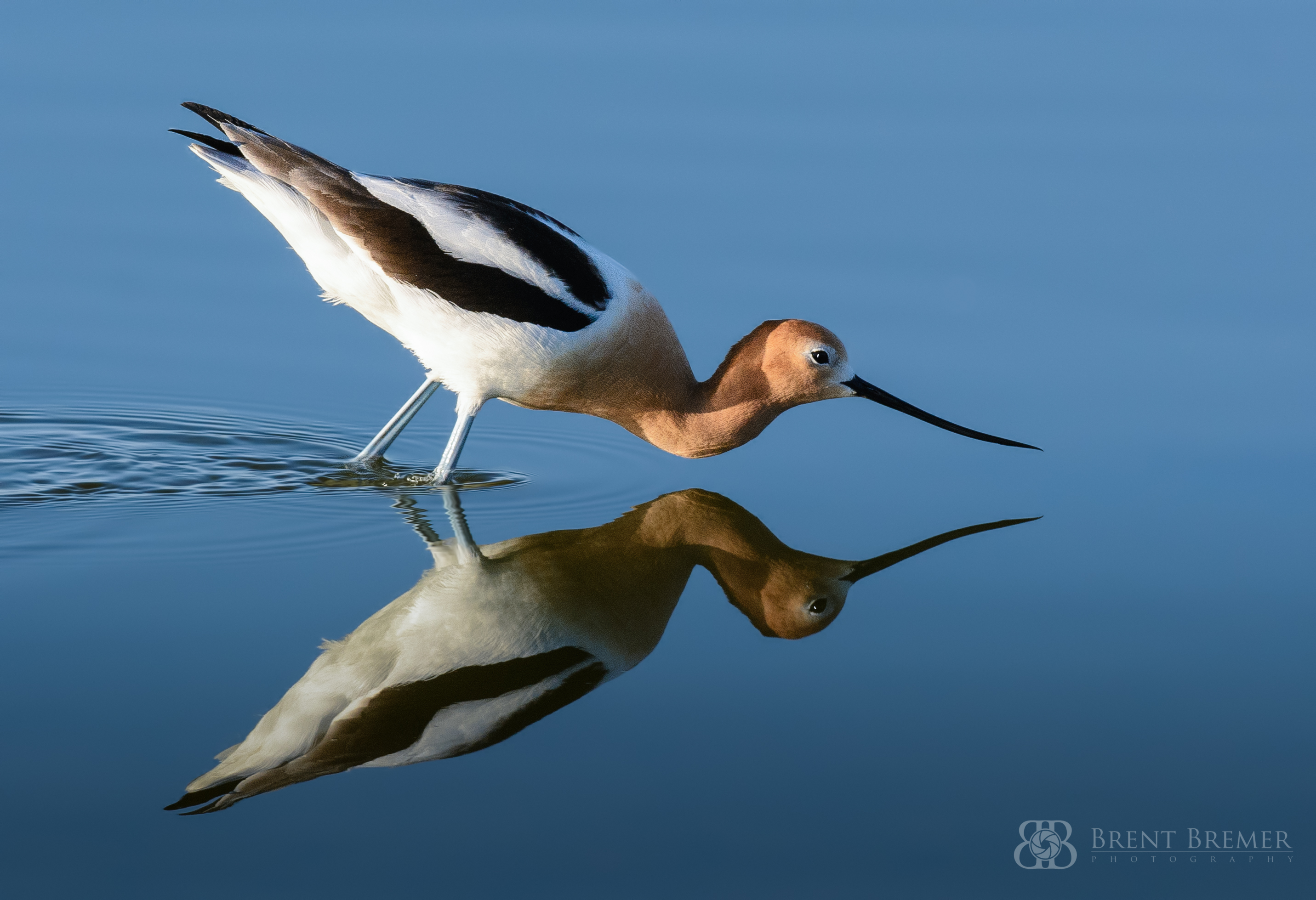 American Avocet Reflecting
