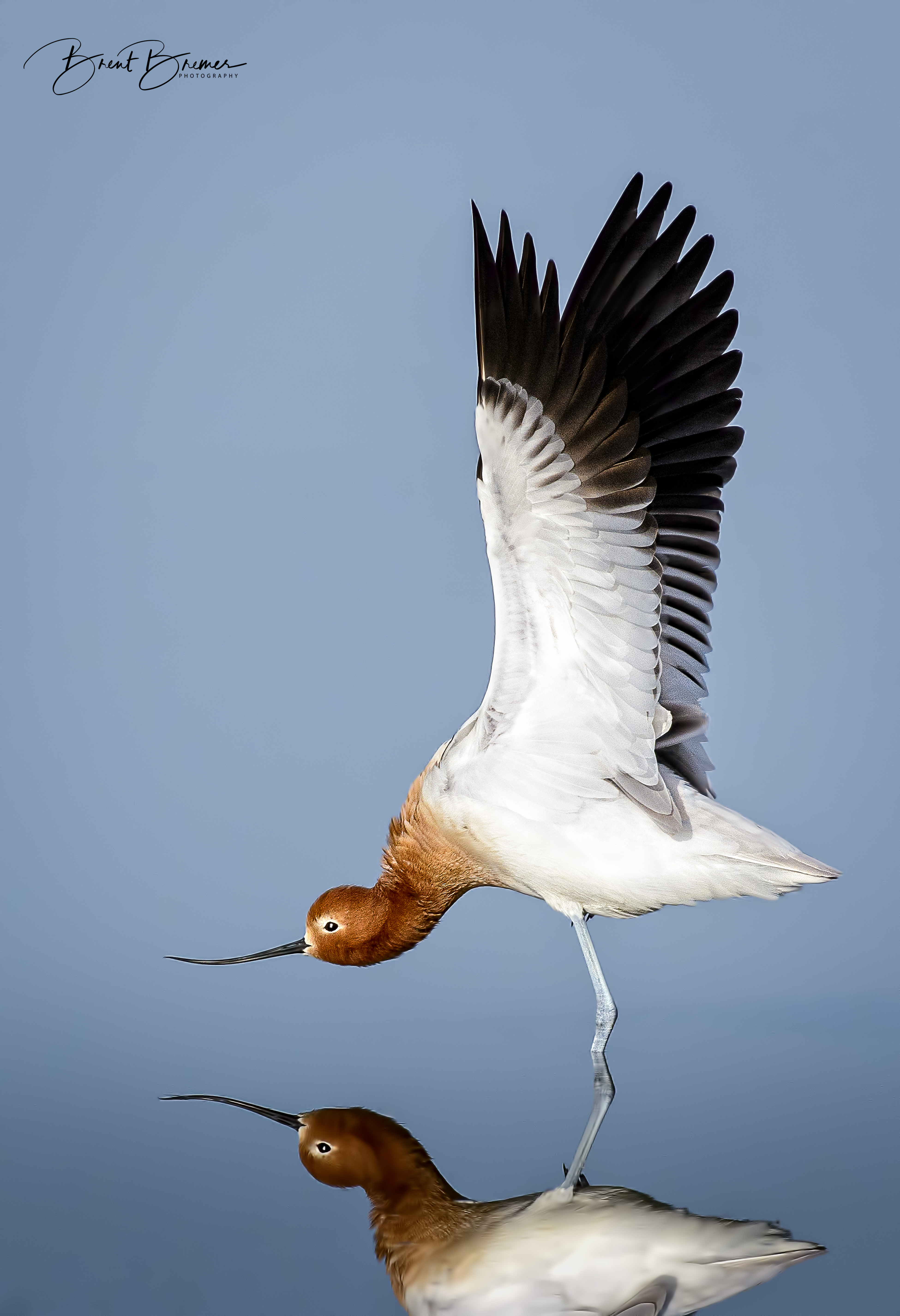American Avocet Streatch Vertical