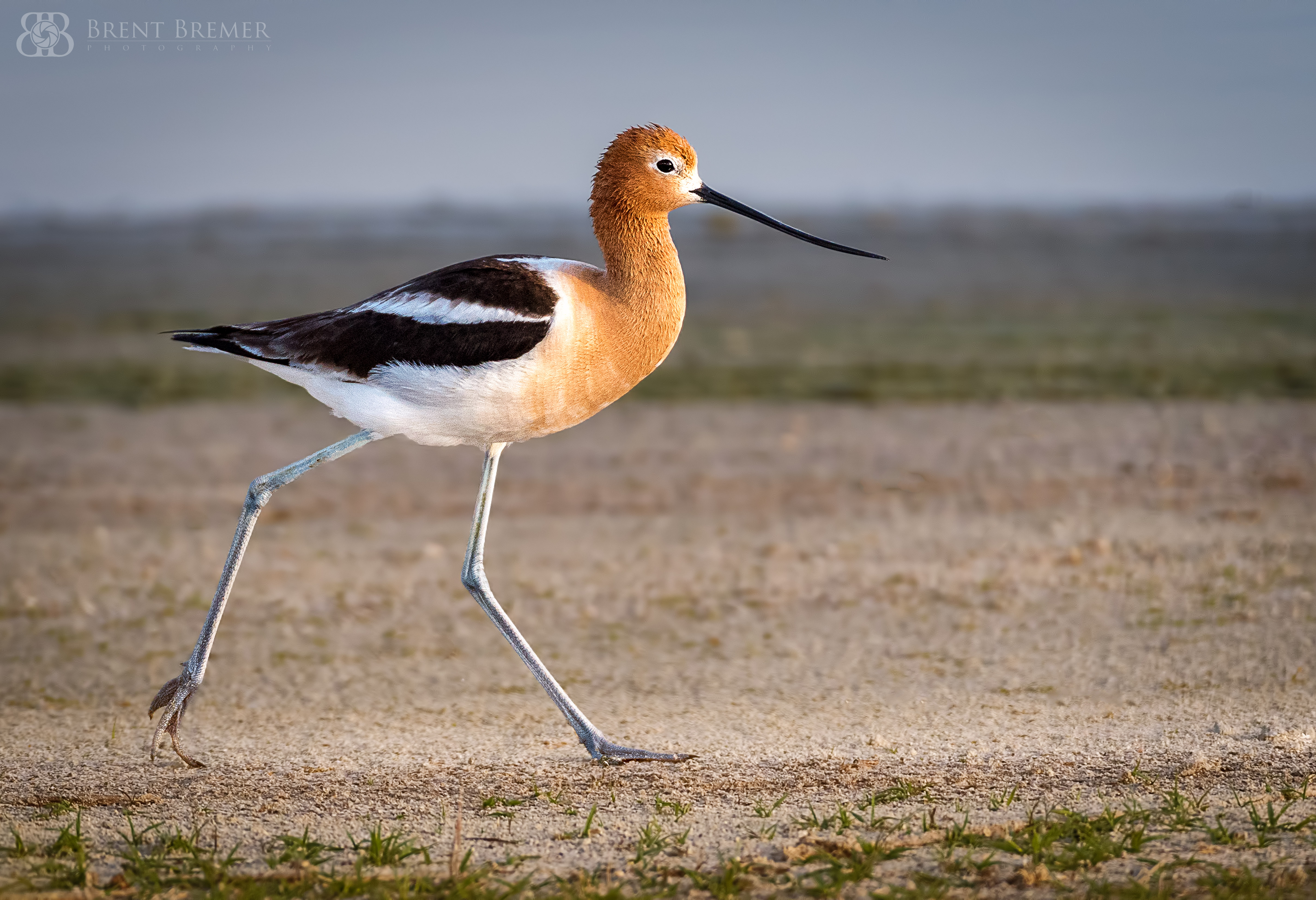 American Avocet Walking