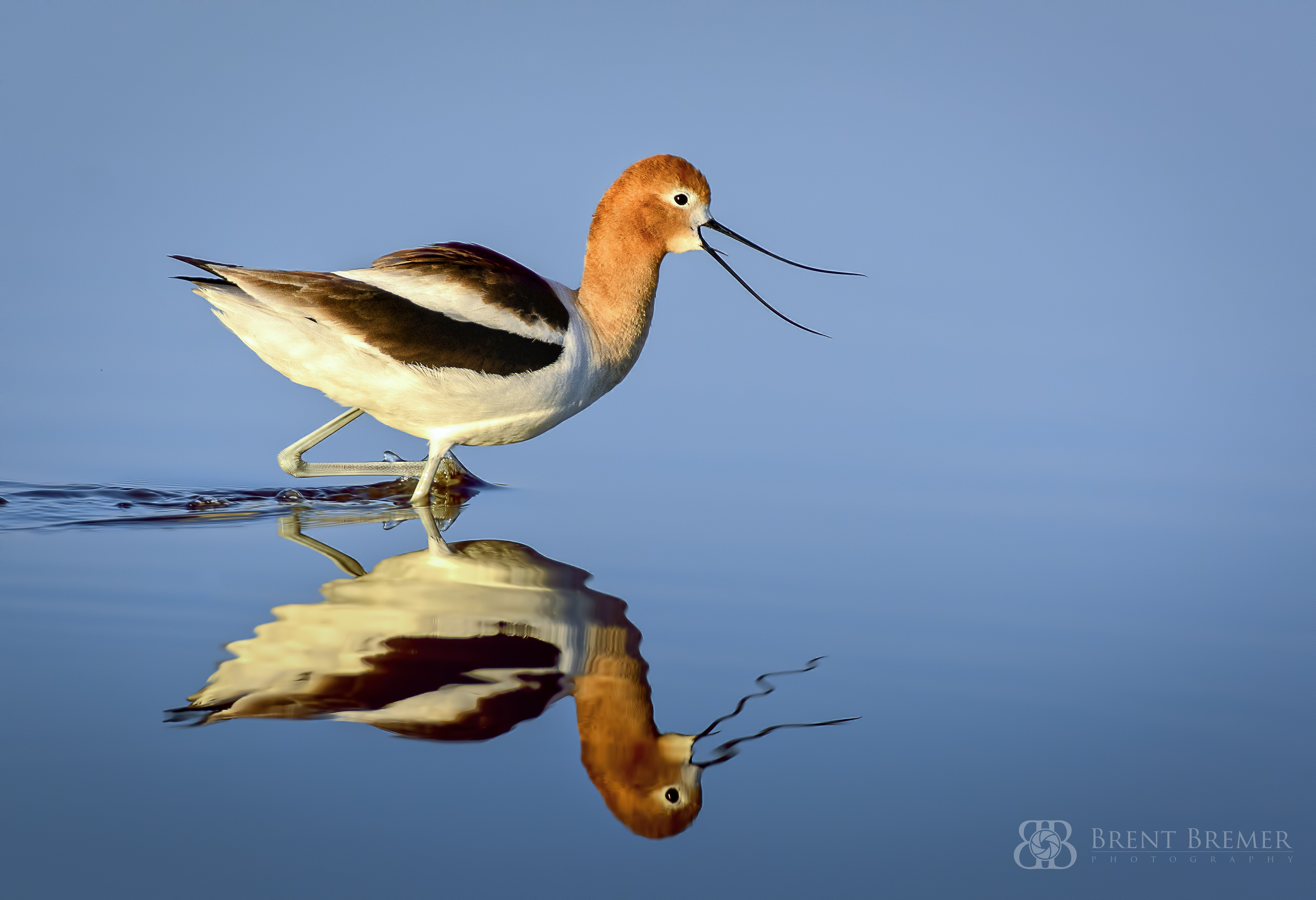 American Avocet at Sunrise