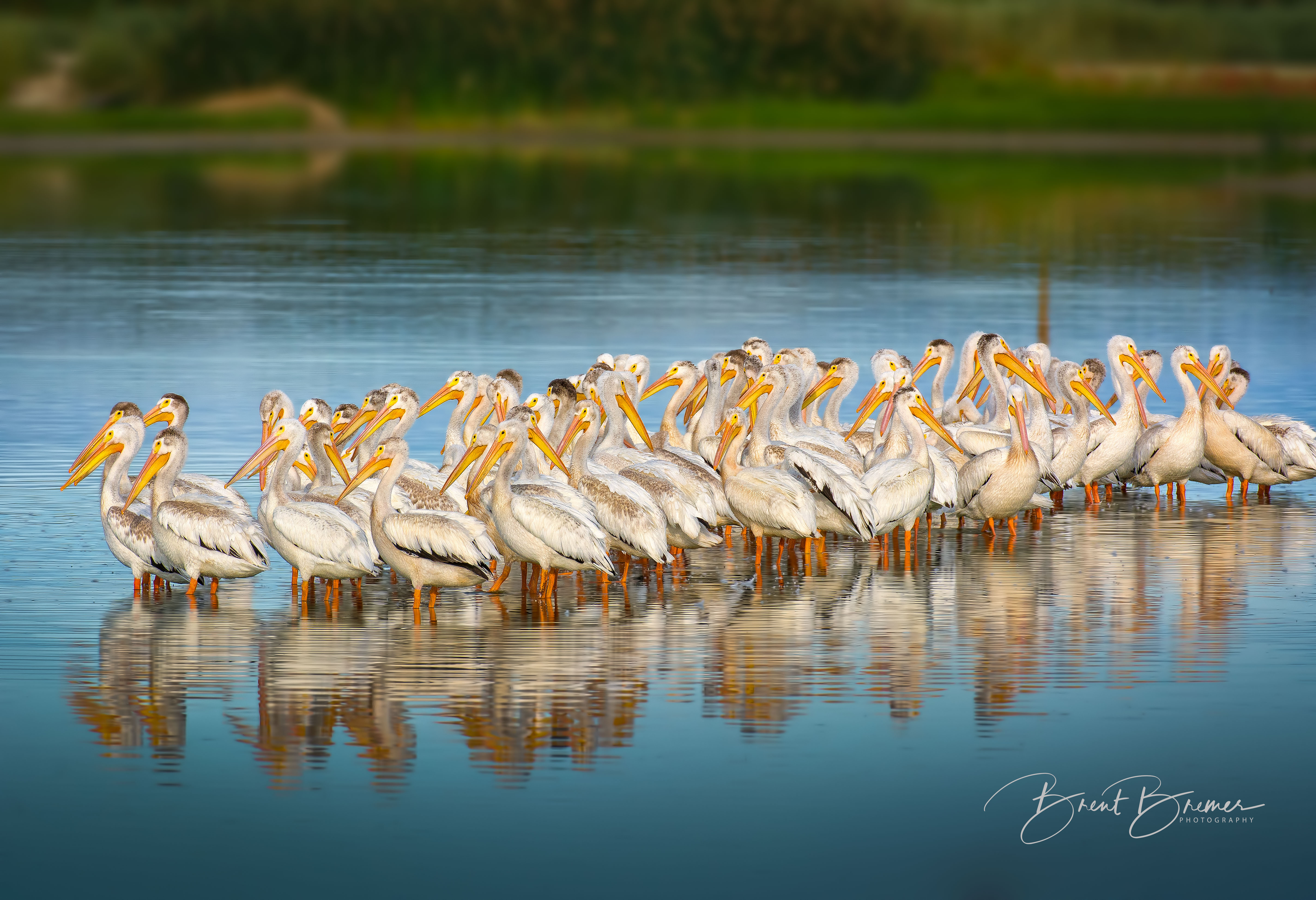 American White Pelicans at Sunrise