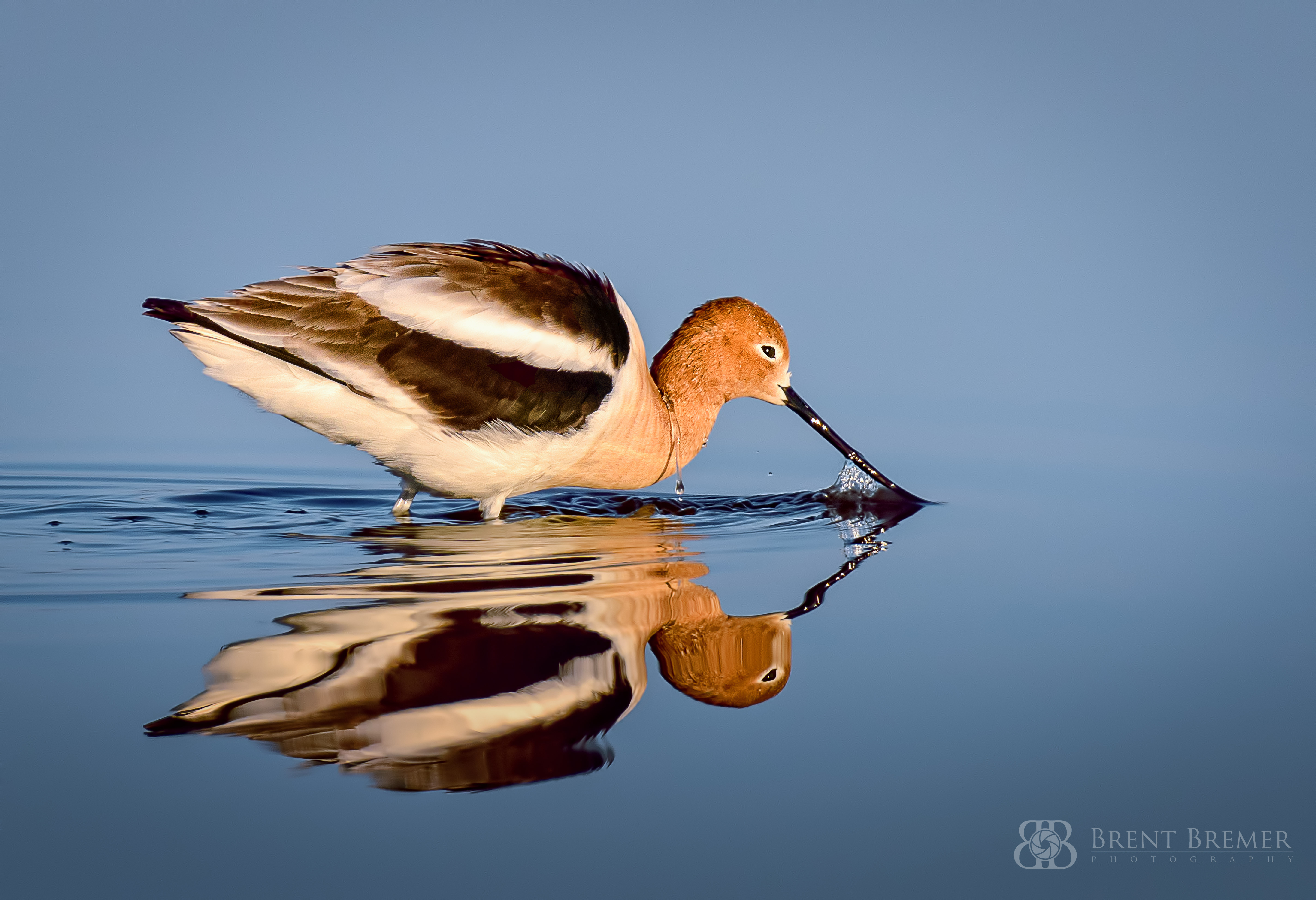 Avocet Feeding at Sunrise