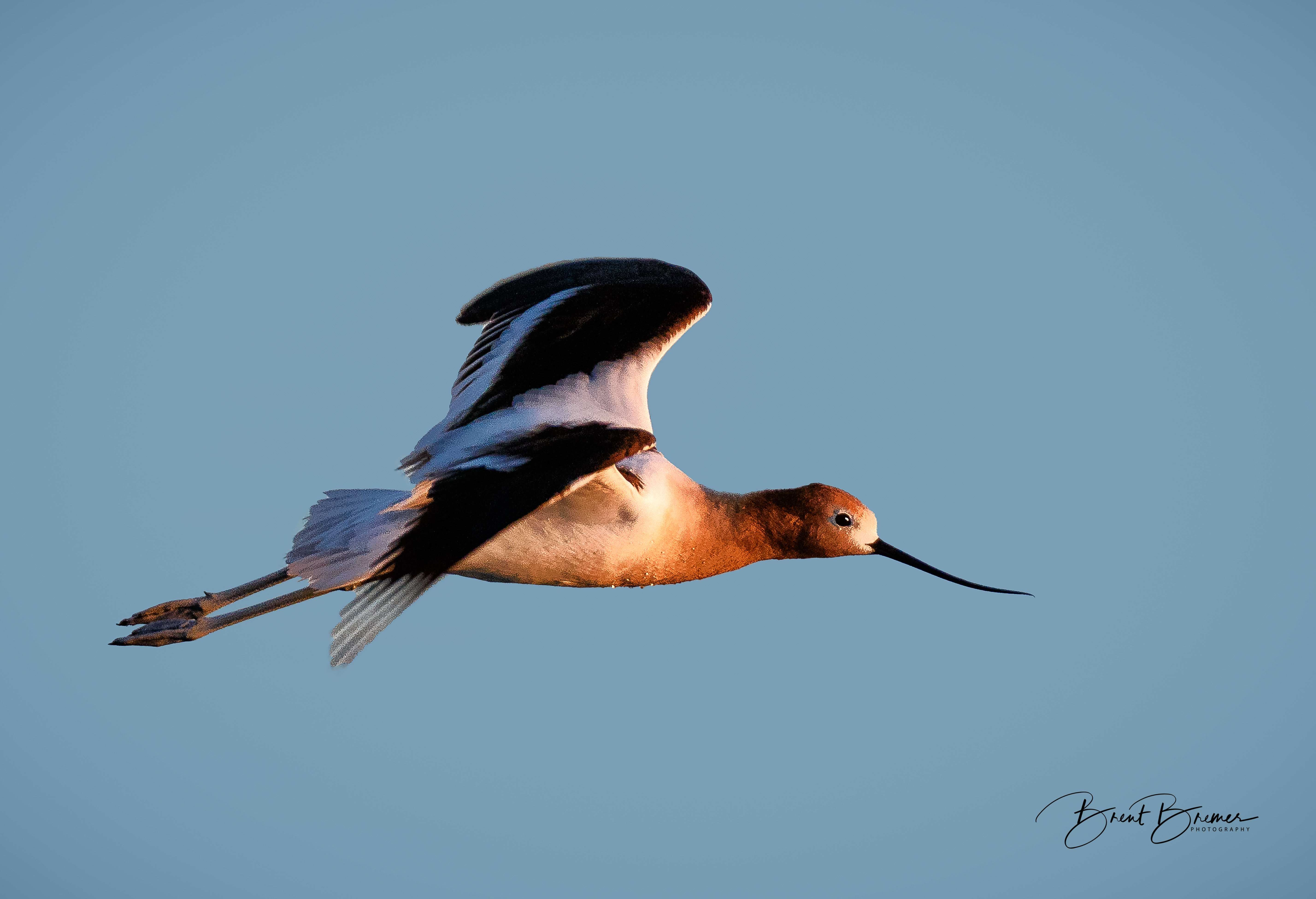 Avocet Wings Up in Flight