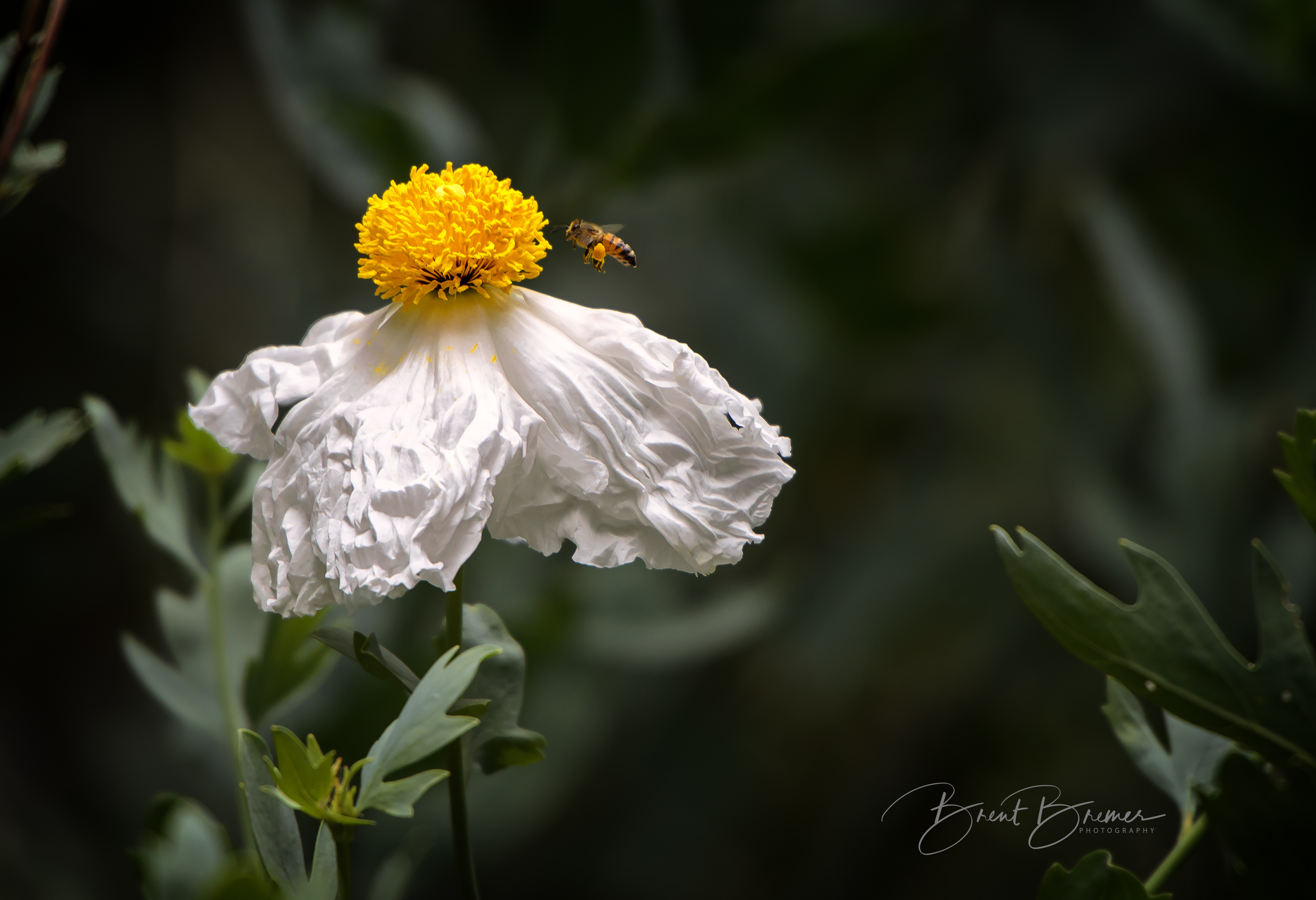 Bee and the Matilija Poppy