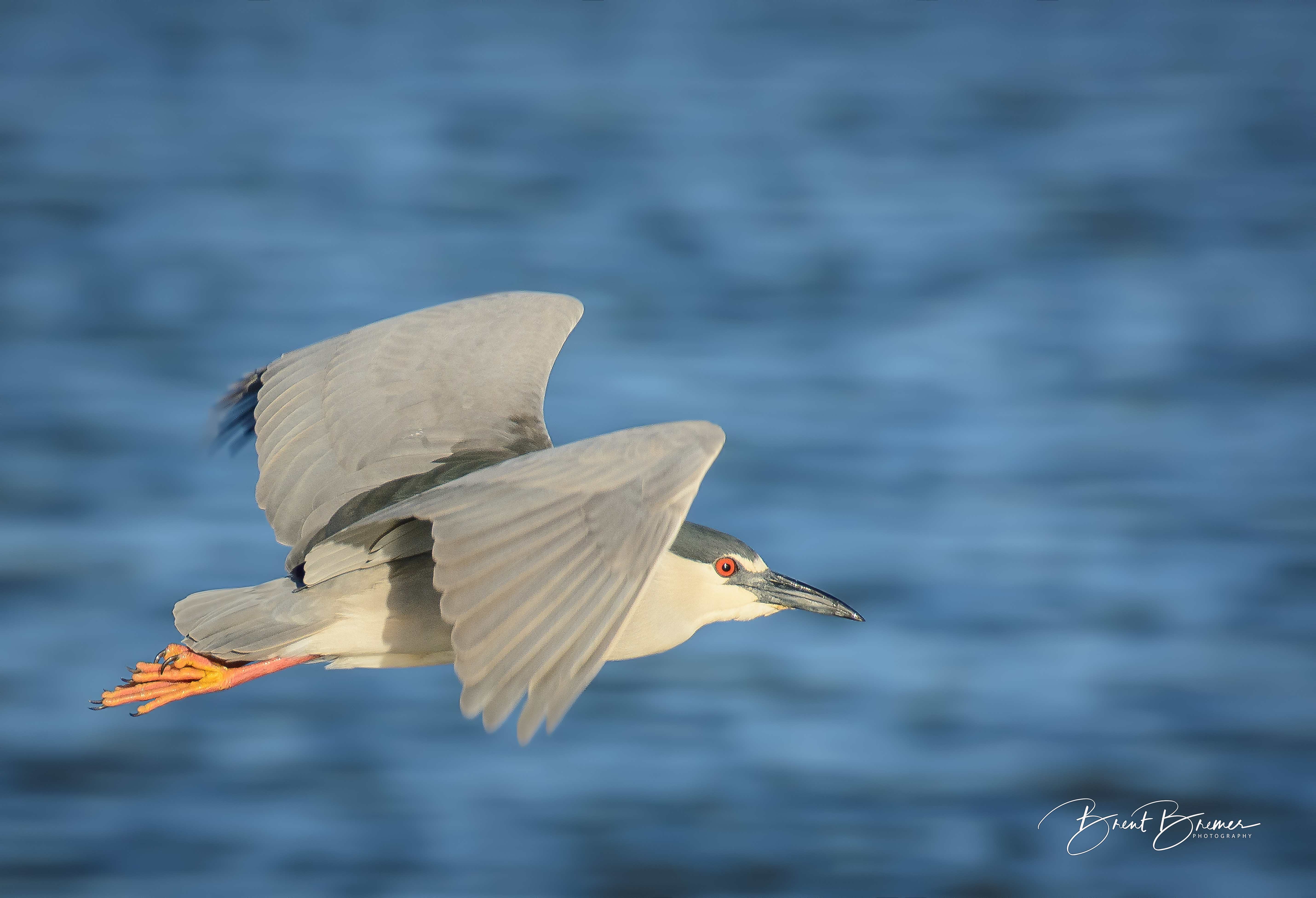 Black-crowned Night Heron Flying