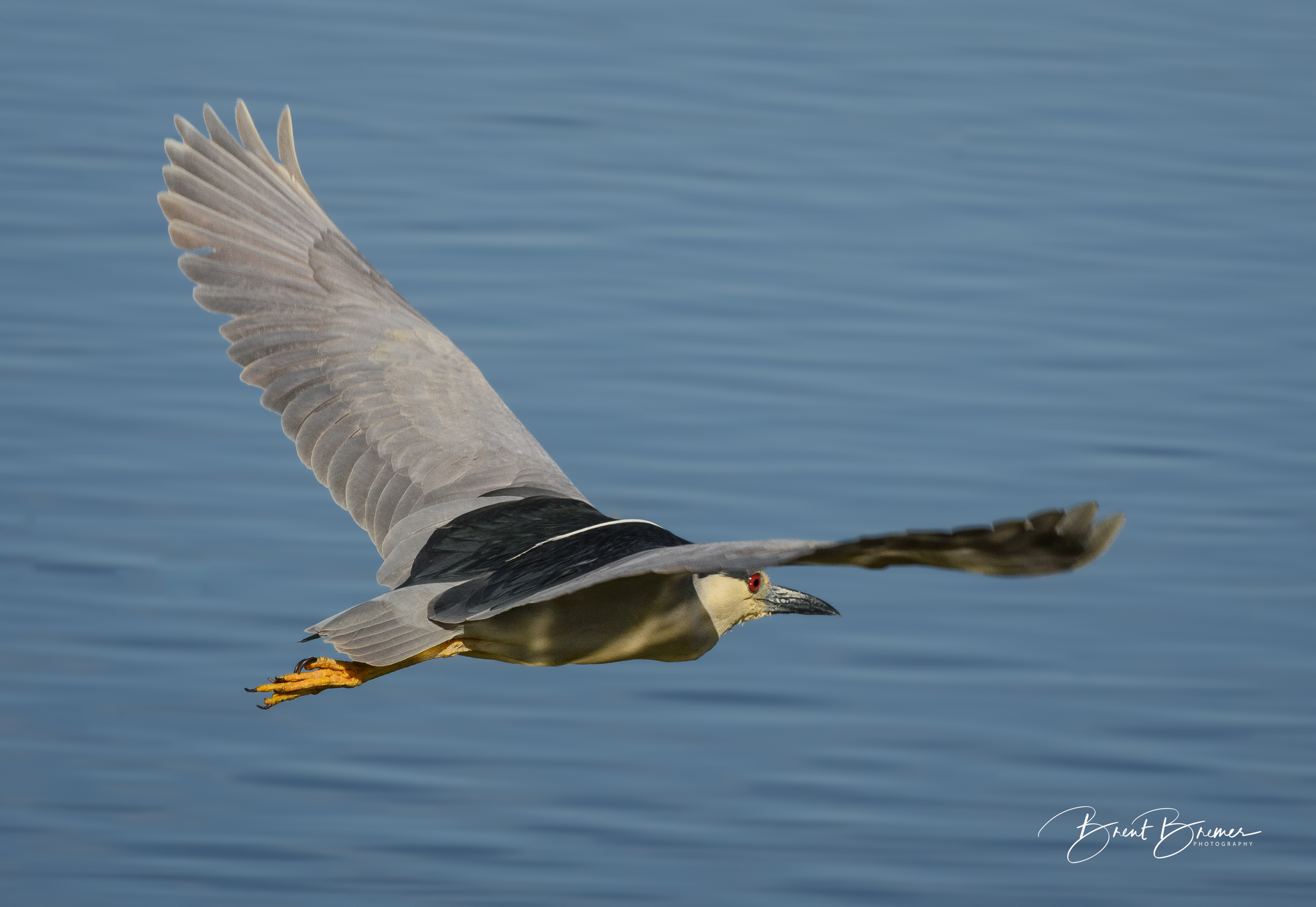 Black-crowned Night-Heron Sailing
