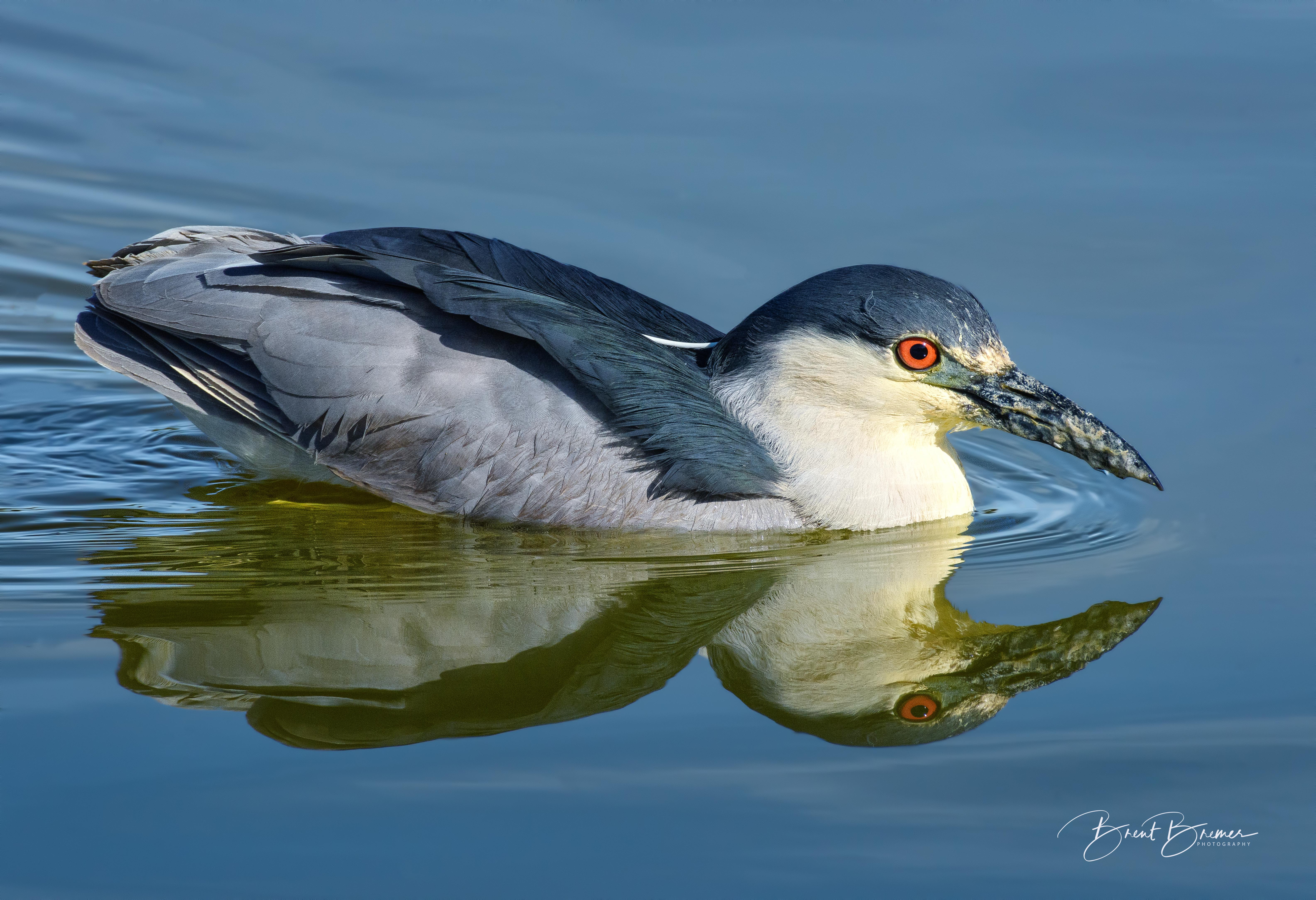 Black-crowned Night-Heron Wading