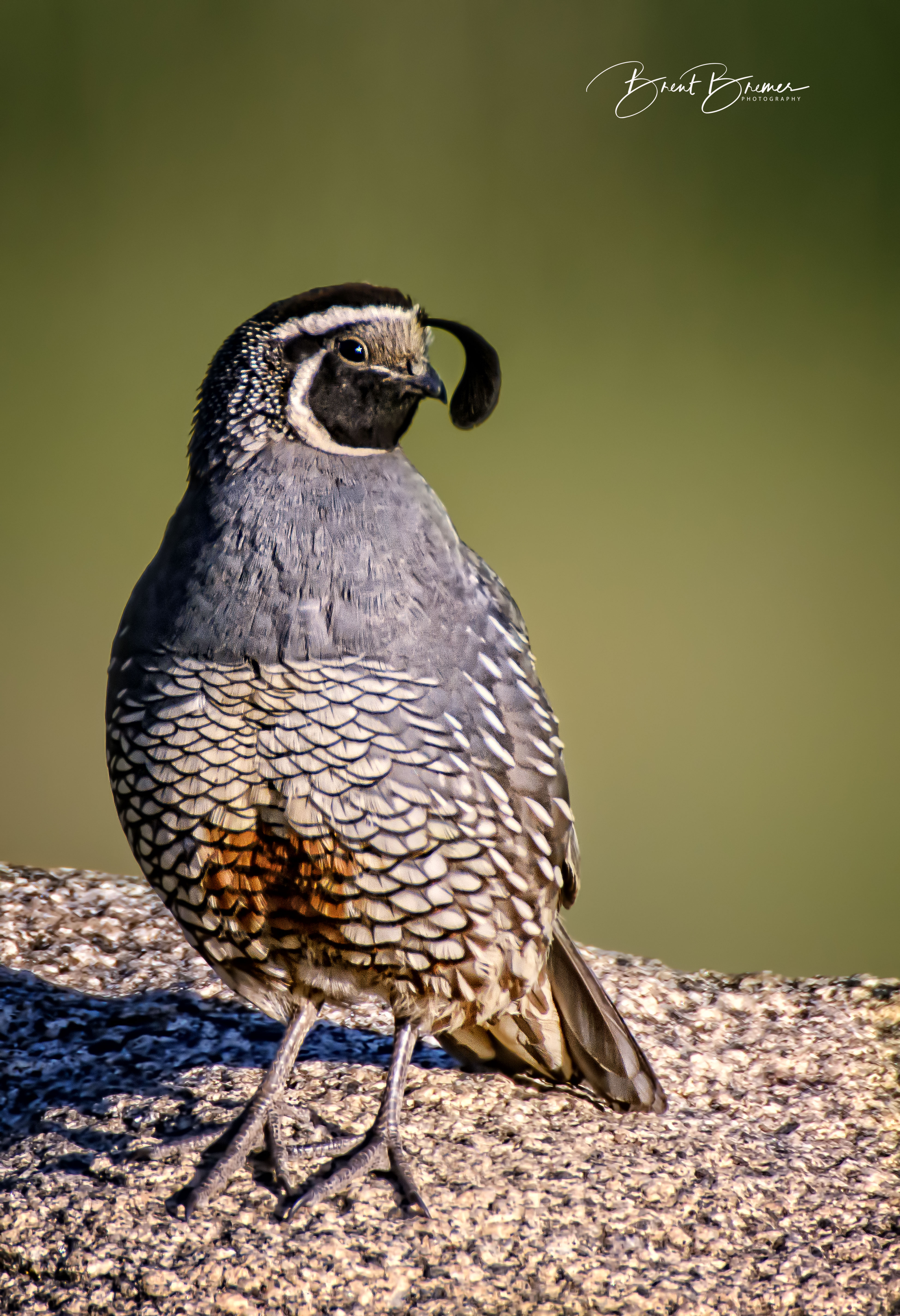 California Quail Vertical