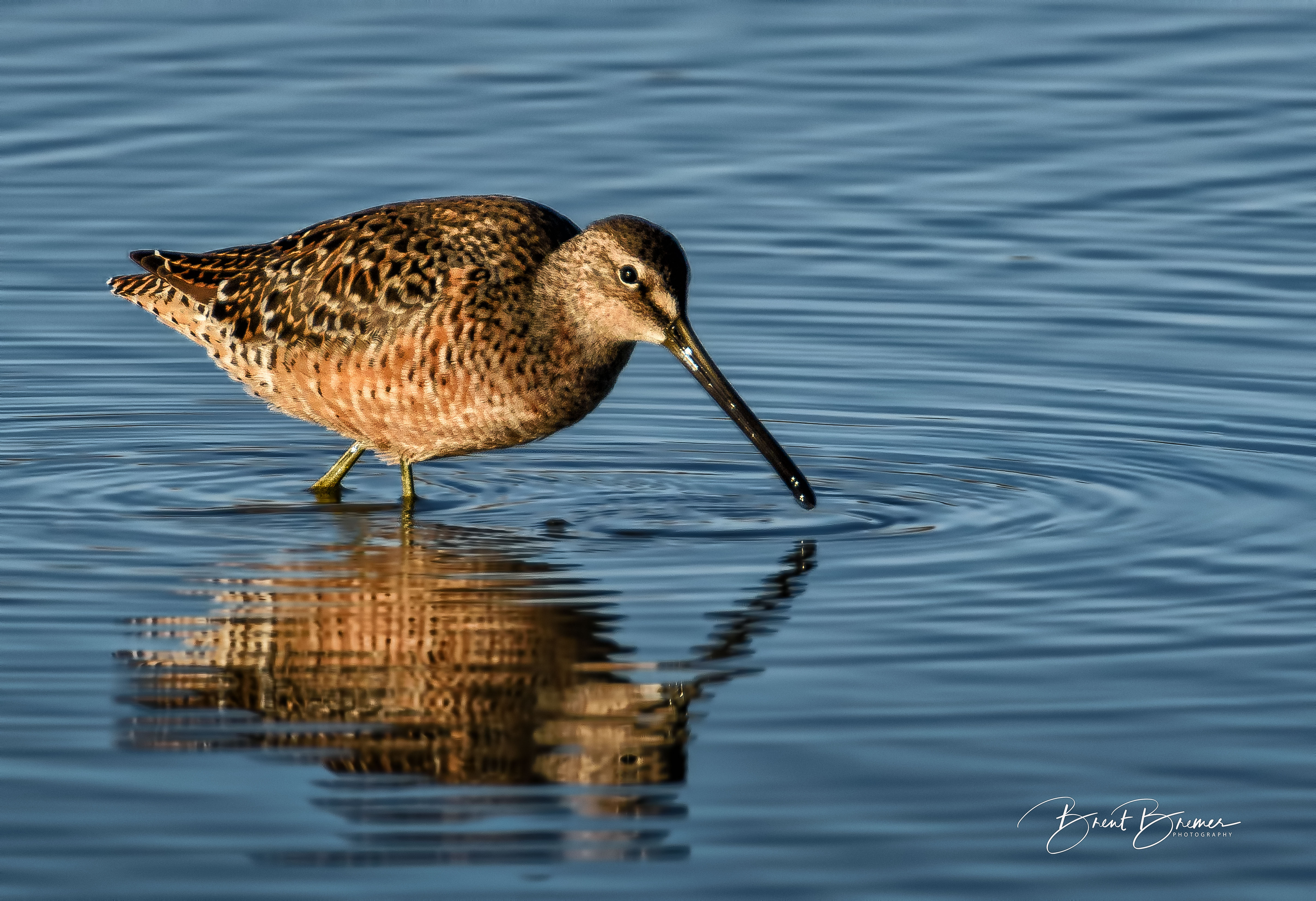 Dowitcher Moving