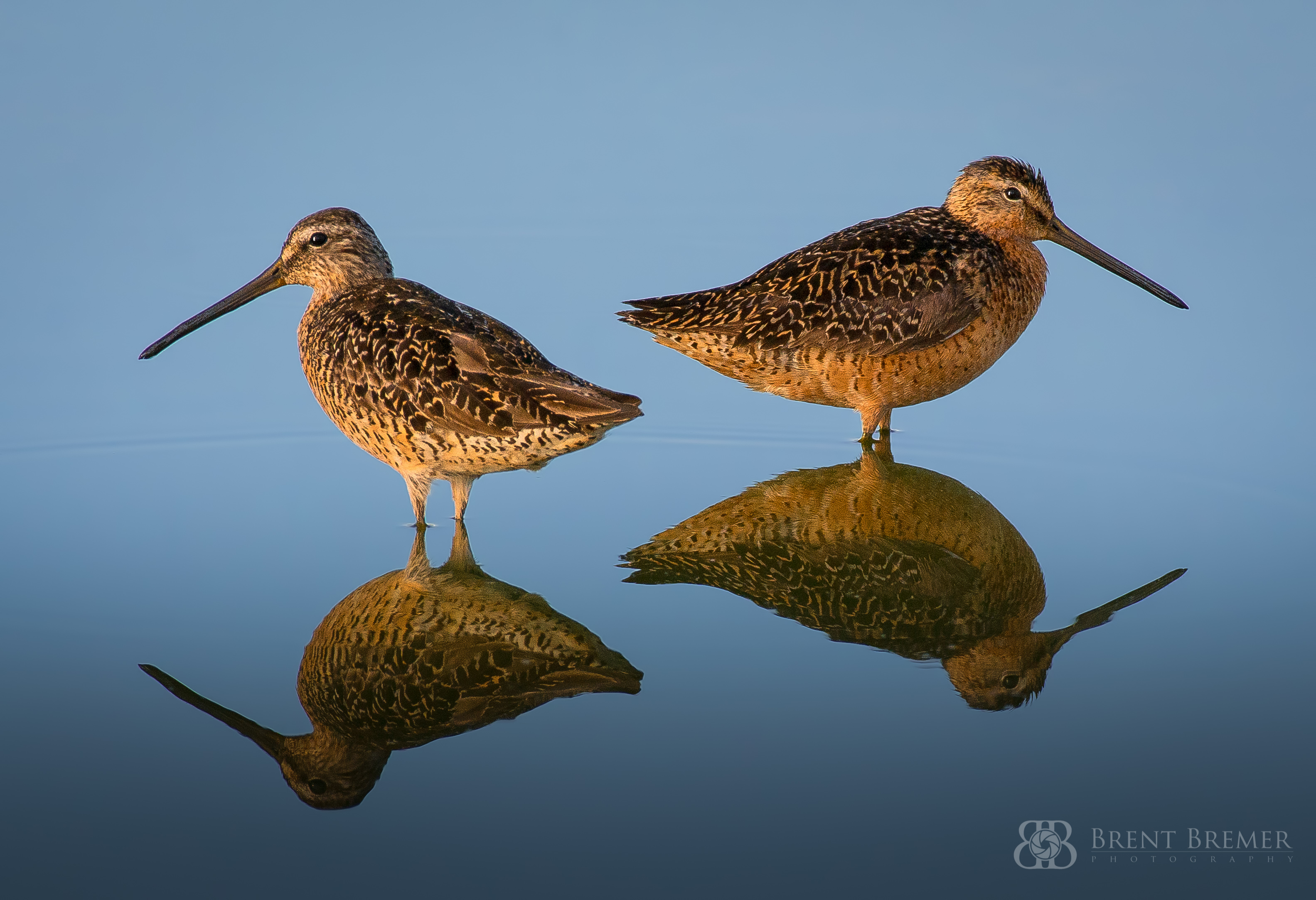 Dowitchers Reflection