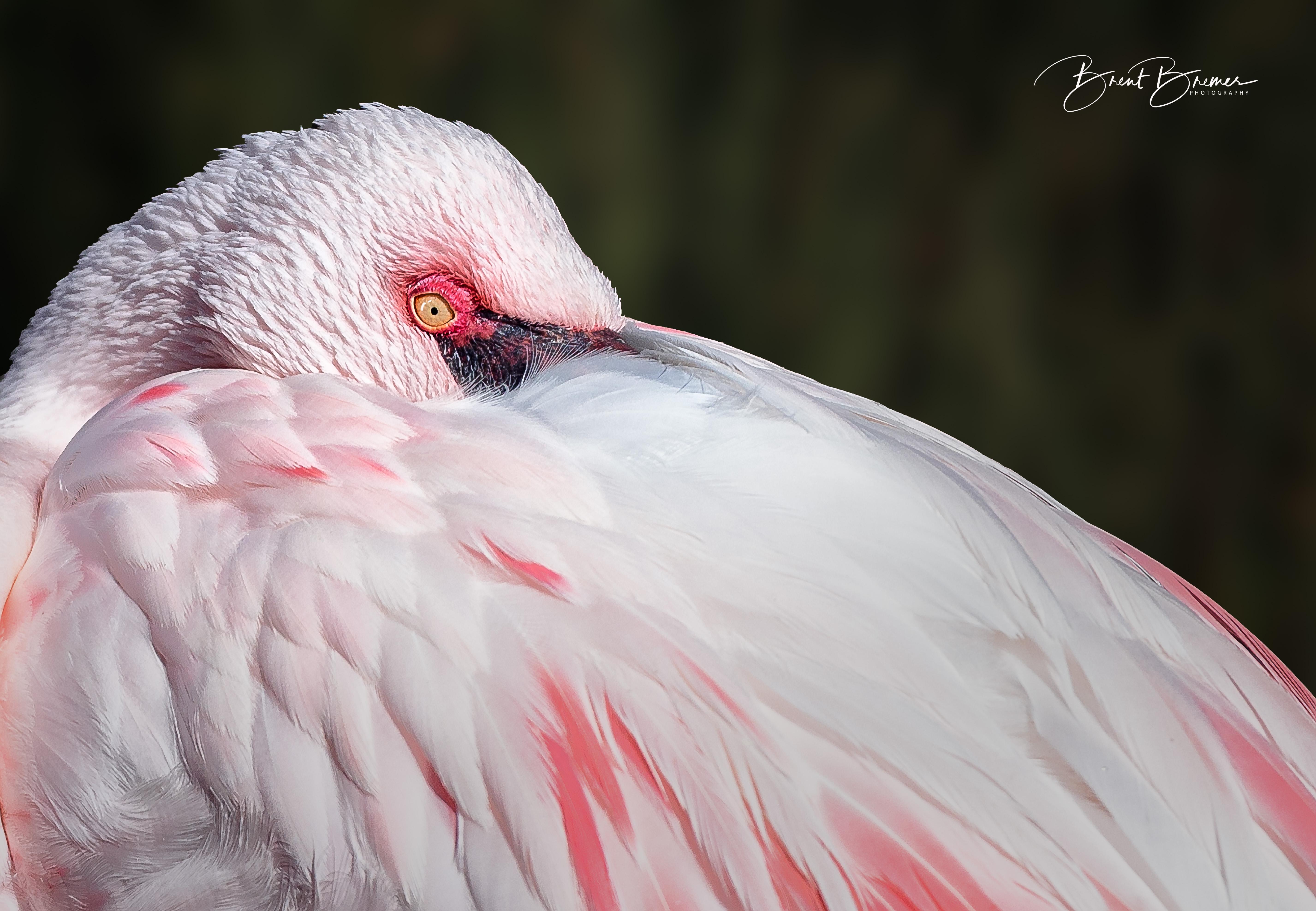 Flamingo Resting