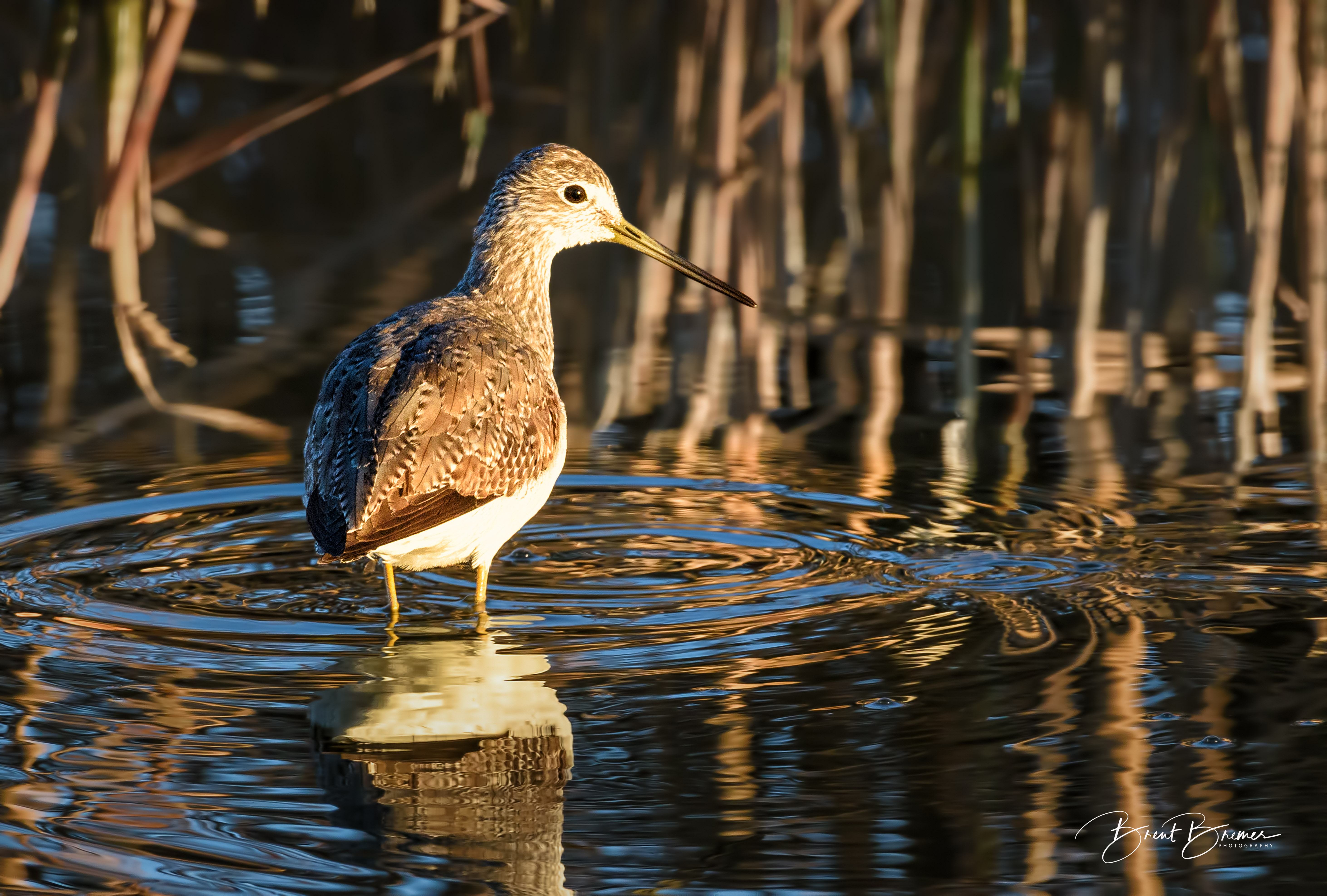 Greater Yellowlegs in Cattails