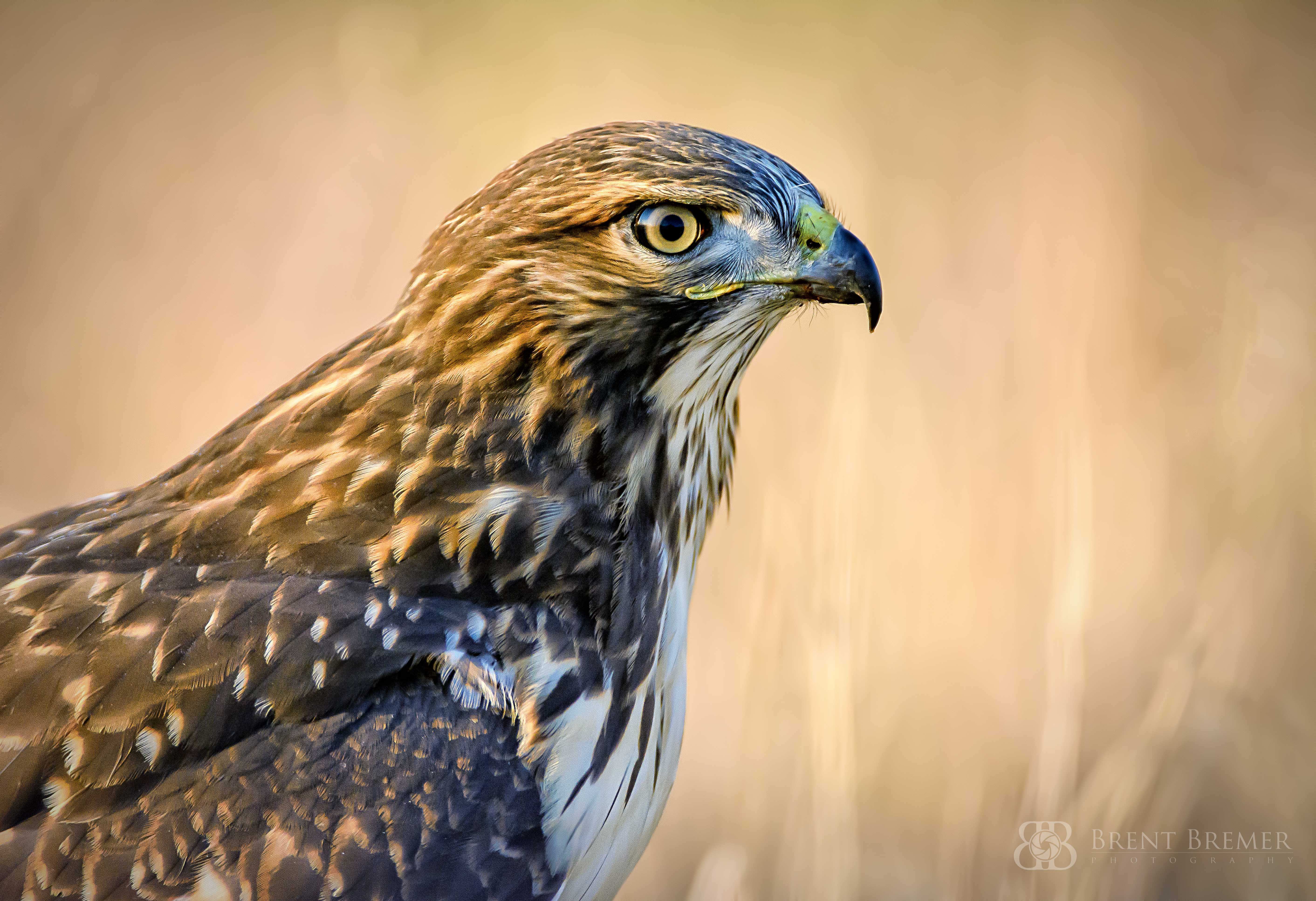 Hawk Extreme Closeup