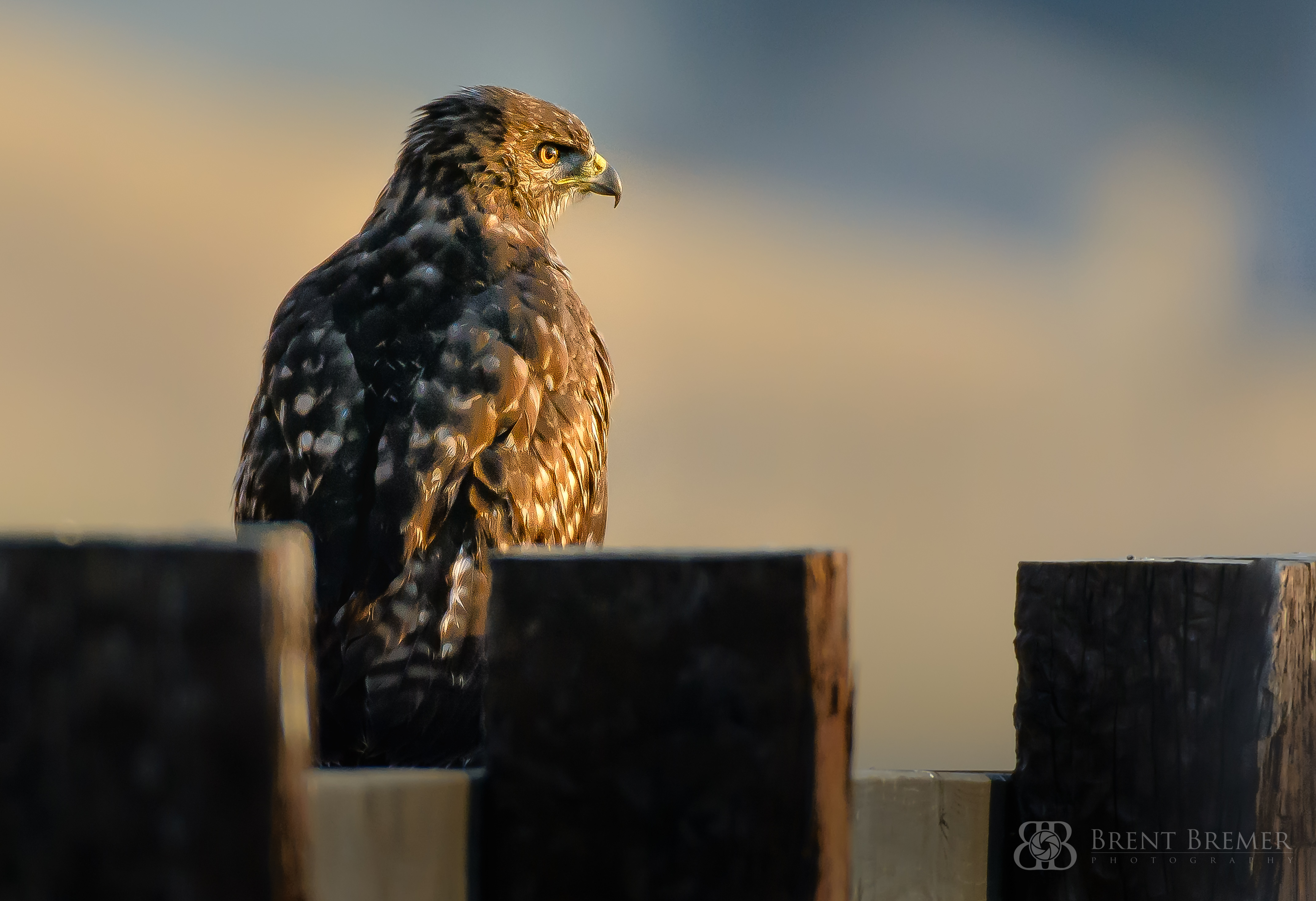 Hawk at Sunrise