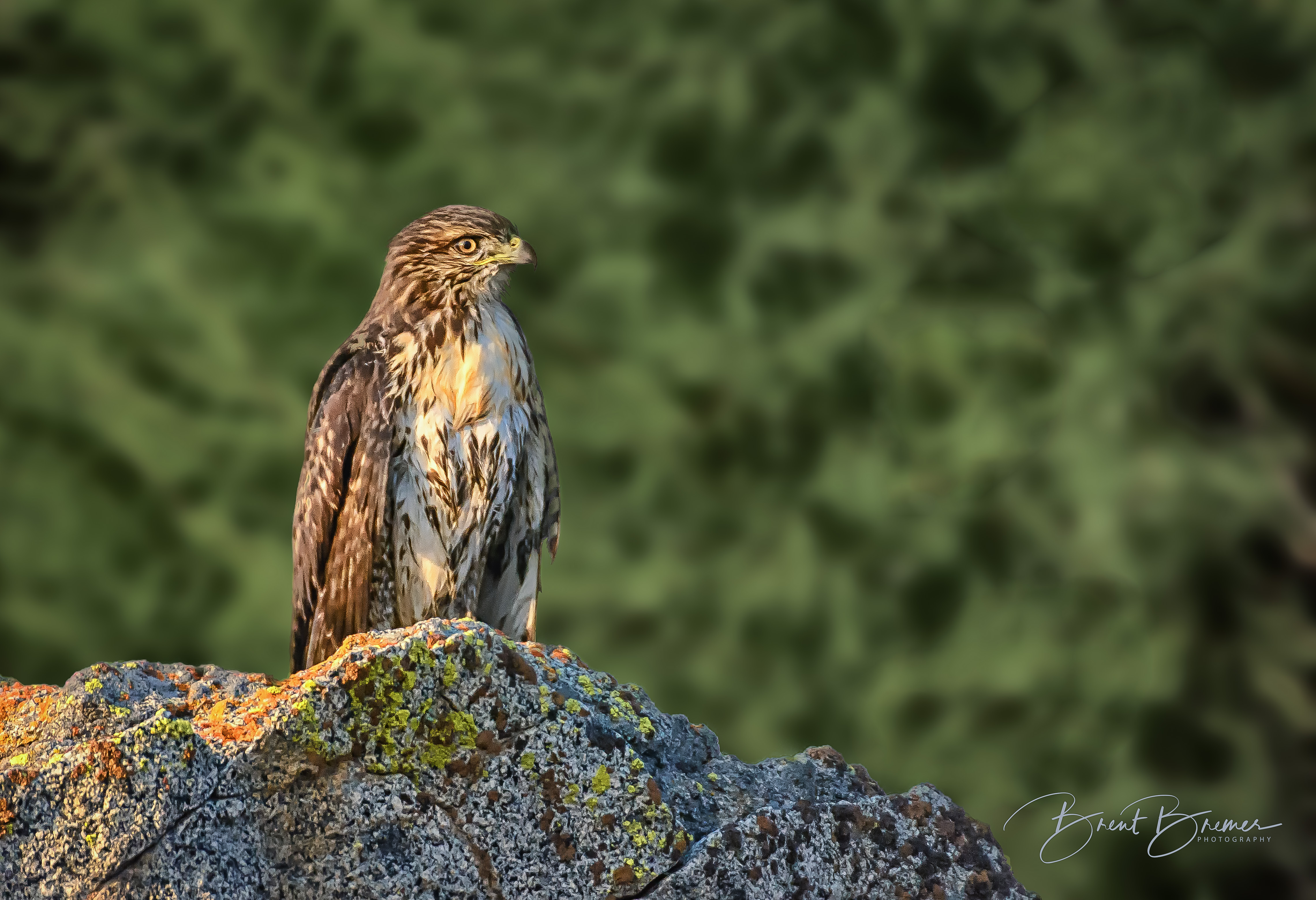 Hawk on Rock at Morning\'s Light