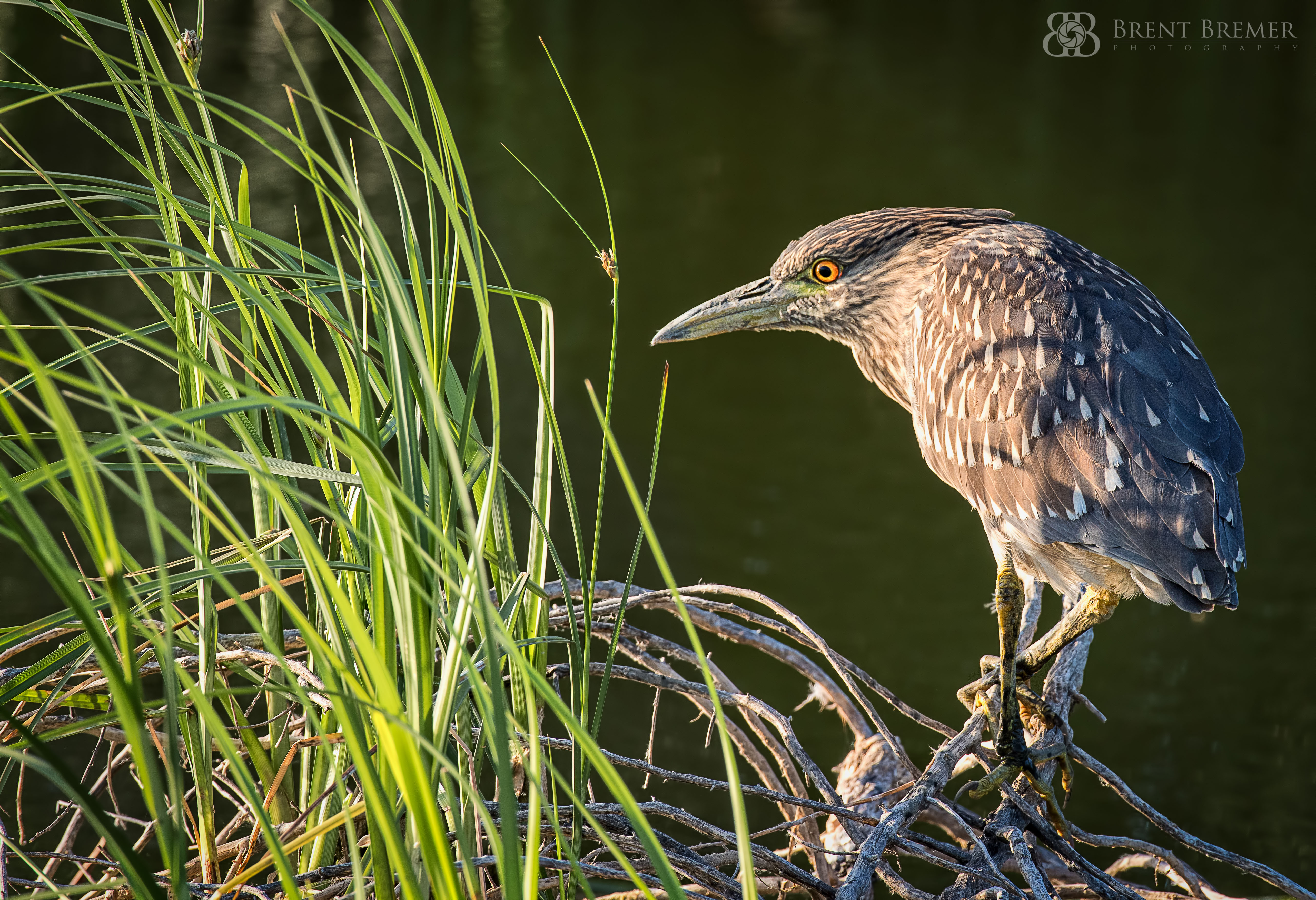 Juvenile Black-crowned Night-Heron 1