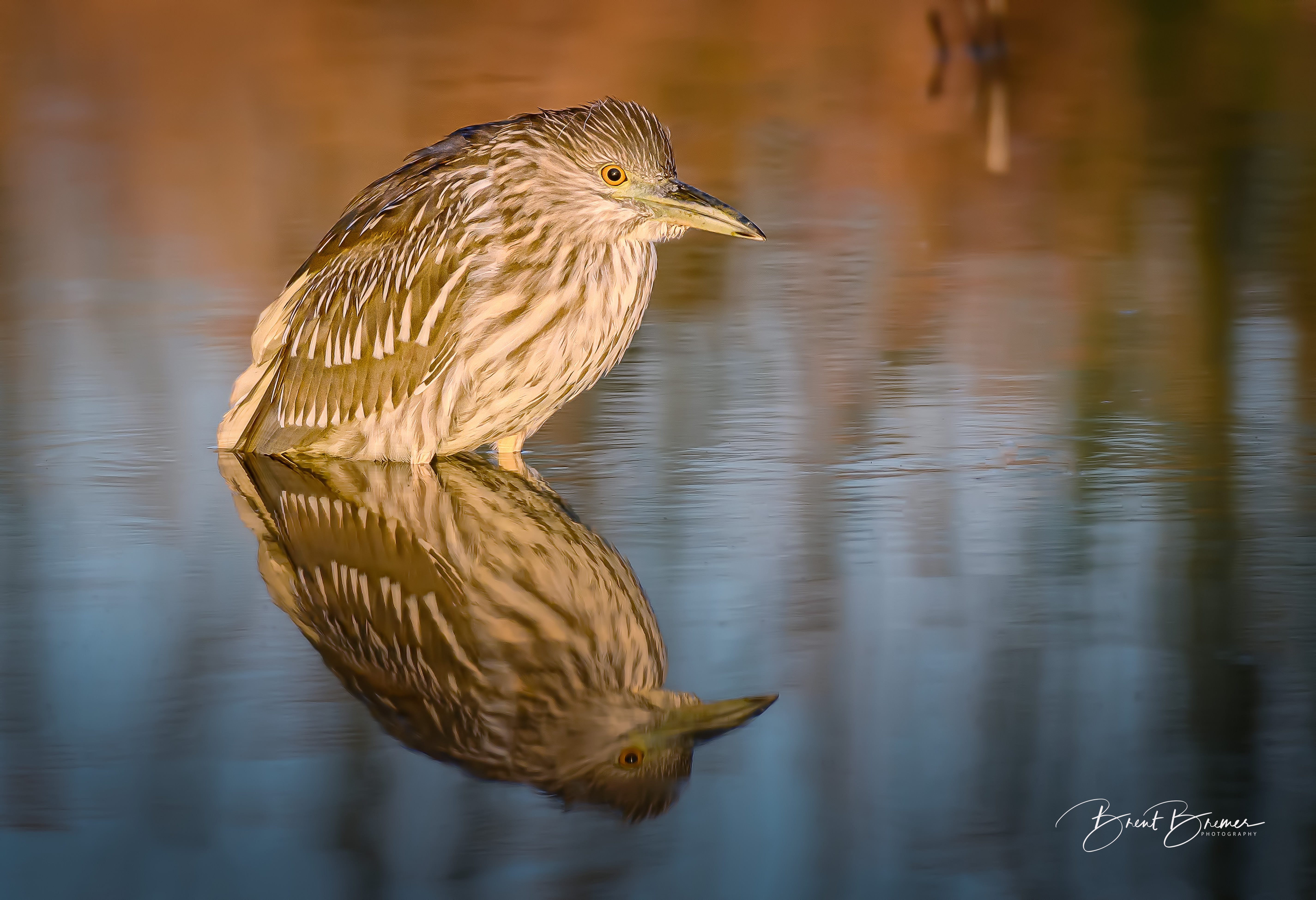 Juvenile Black-crowned Night Heron Sitting
