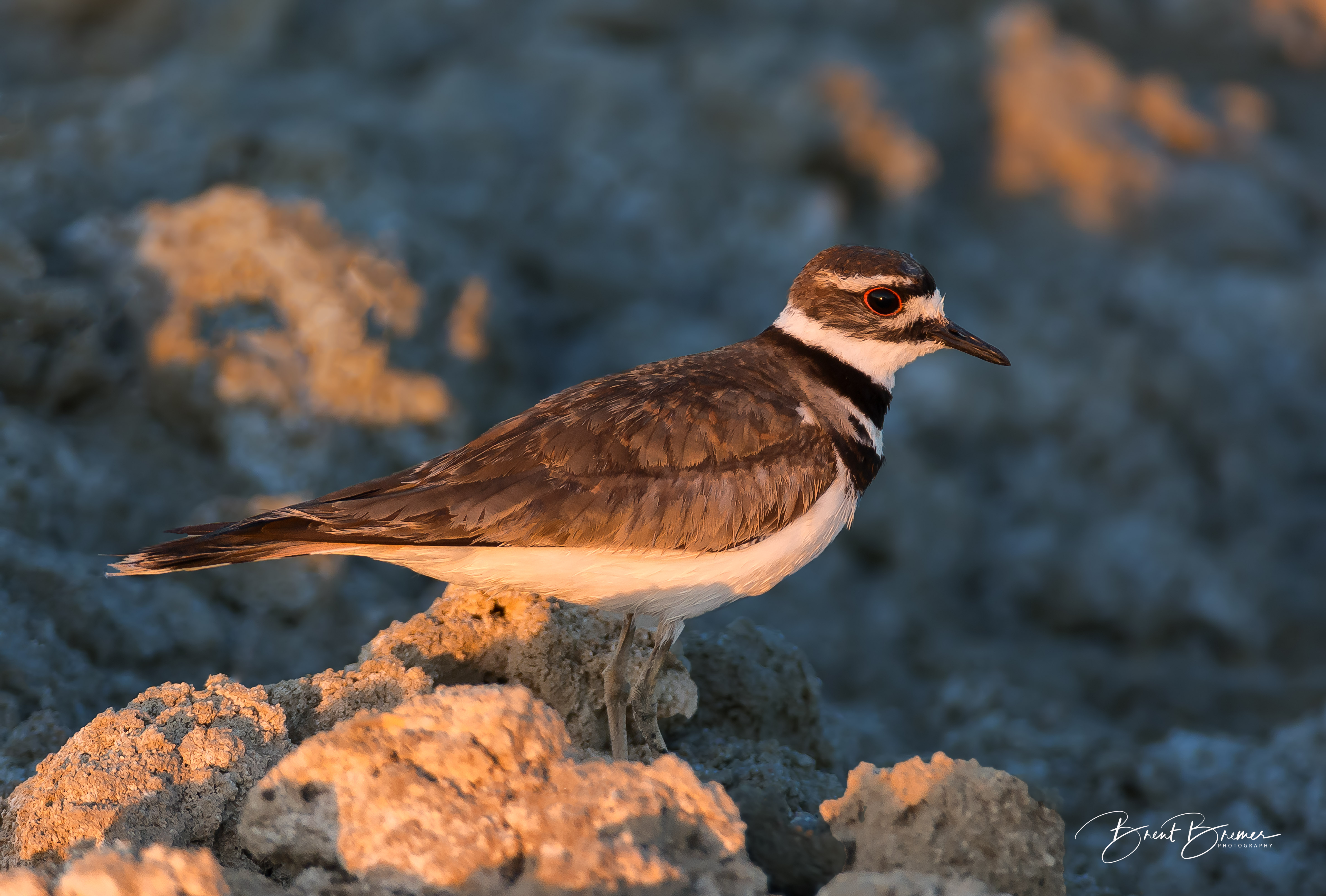 Killdeer Posing