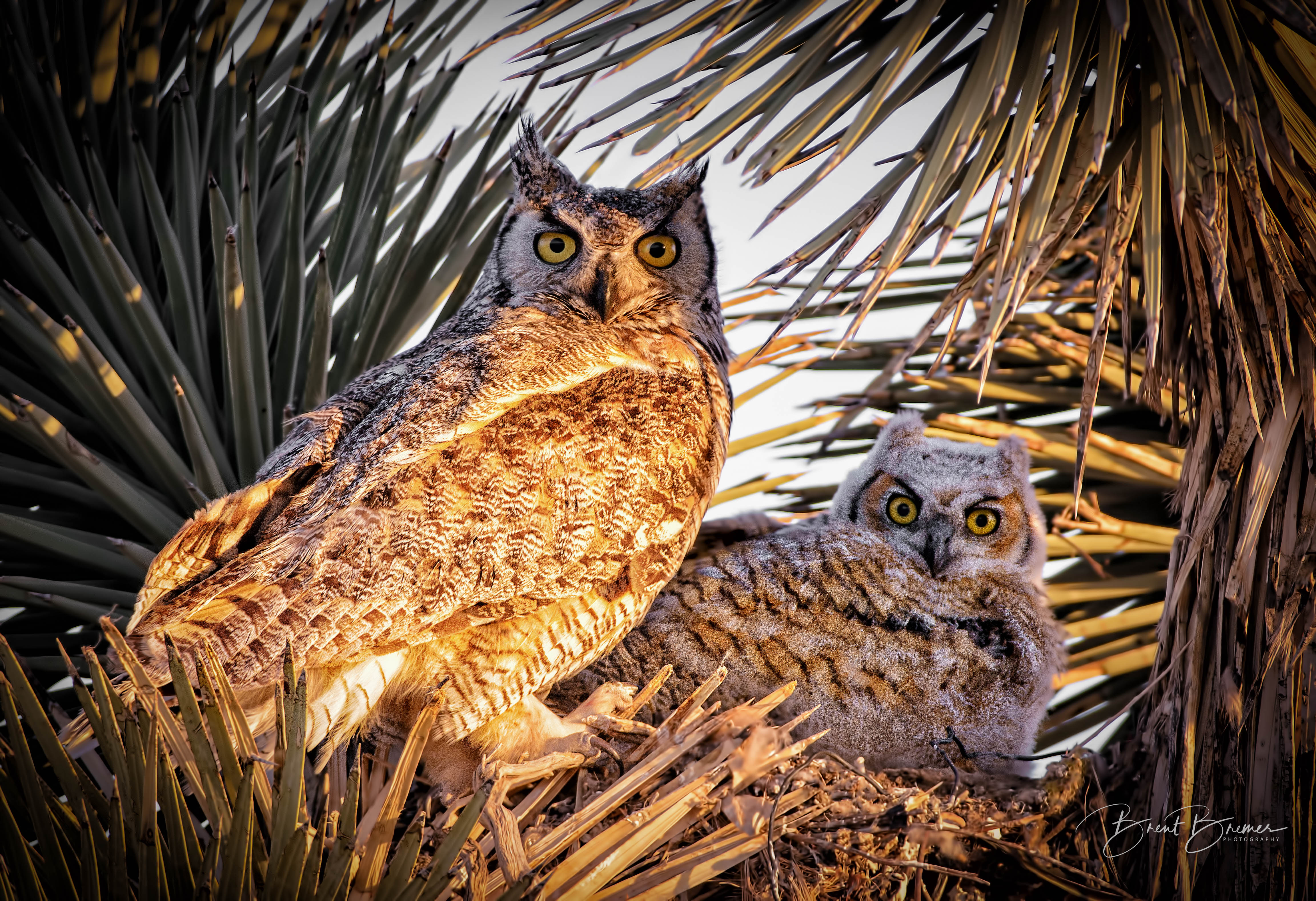 Owl and Owlet in Joshua Tree