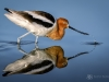 American Avocet Reflections
