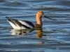 American Avocet Swimming