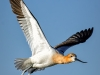 American Avocet Vertical Stretched