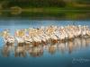 American White Pelicans at Sunrise