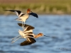 Avocet Collision
