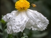 Bee Approaching Matilija Poppy