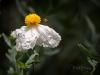 Bee and the Matilija Poppy