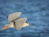 Black-crowned Night Heron Flying