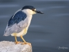 Black-crowned Night Heron on Step Horiz