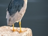 Black-crowned Night Heron on Step