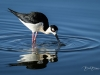 Black-necked Stilt Drinking