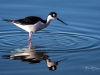 Black-necked Stilt Feeding