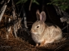 Cottontail Outside Hole