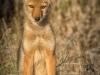 Coyote Pup Vertical