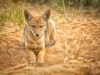 Coyote Pup by Den