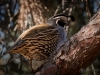 Early Morning California Quail_