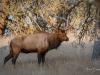 Elk Battle Injury