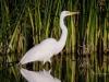 Great Egret Reeds