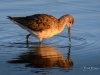 Greater Yellowlegs Pointed Down