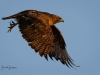 Hawk Wing Flap
