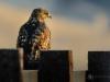 Hawk at Sunrise